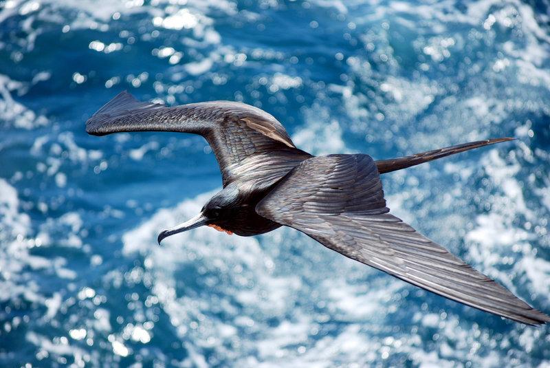 پرنده اي كه 56 روز بي وقفه پرواز ميكند